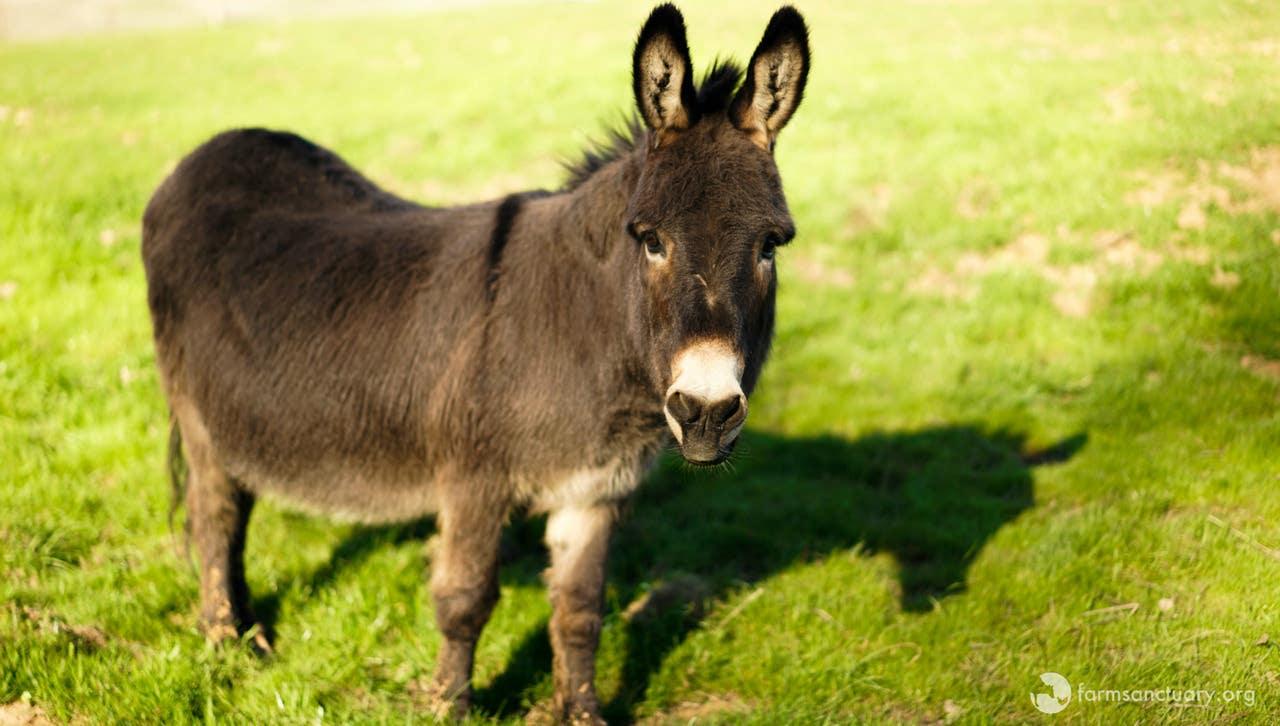 Albert the Donkey at Farm Sanctuary in Acton