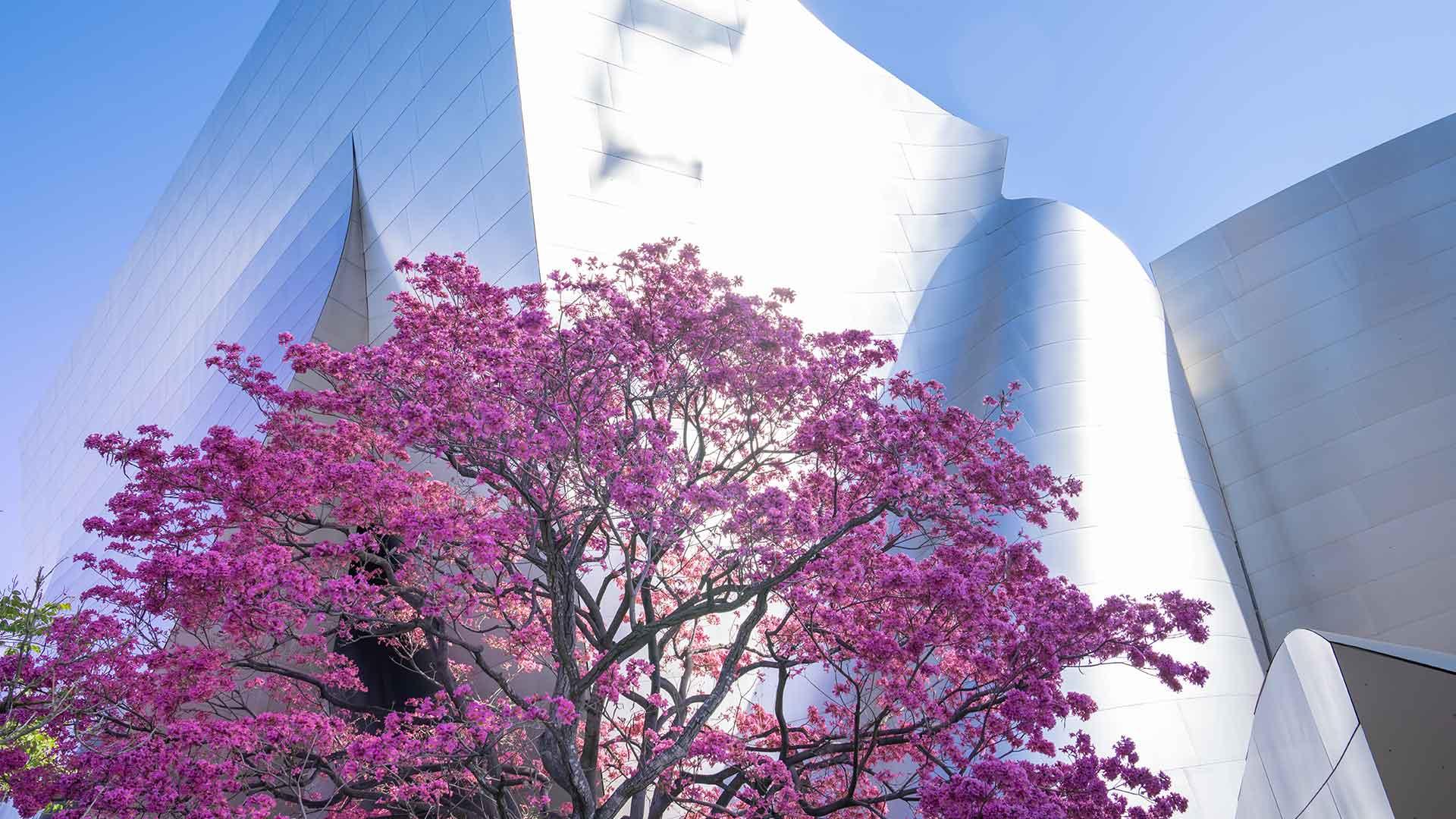 Pink flowering tree in front of Walt Disney Concert Hall