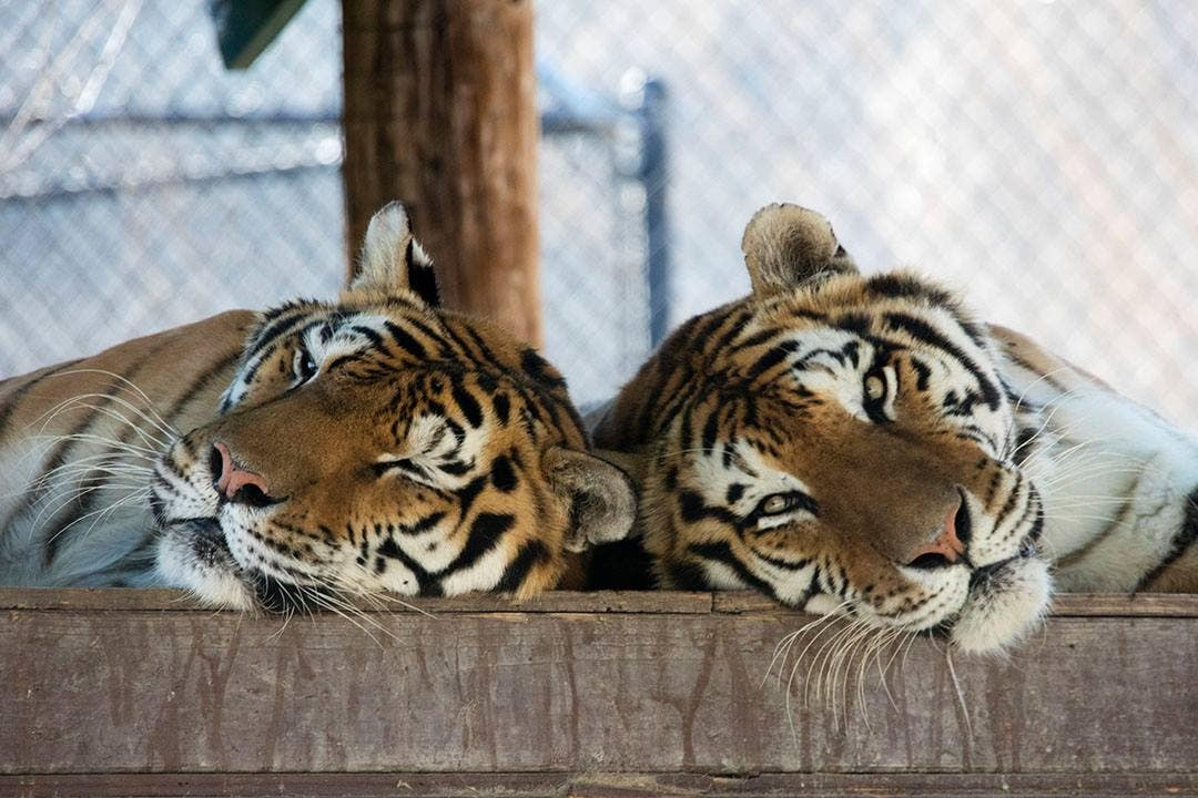 Aspen and Willow at Shambala Preserve | Photo: The Roar Foundation, Facebook