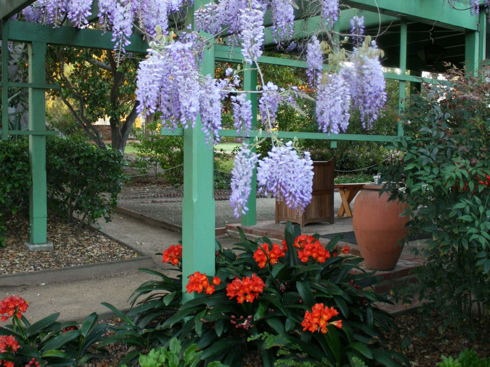 Wisteria over green lattice with orange flowers and greenery in the foreground