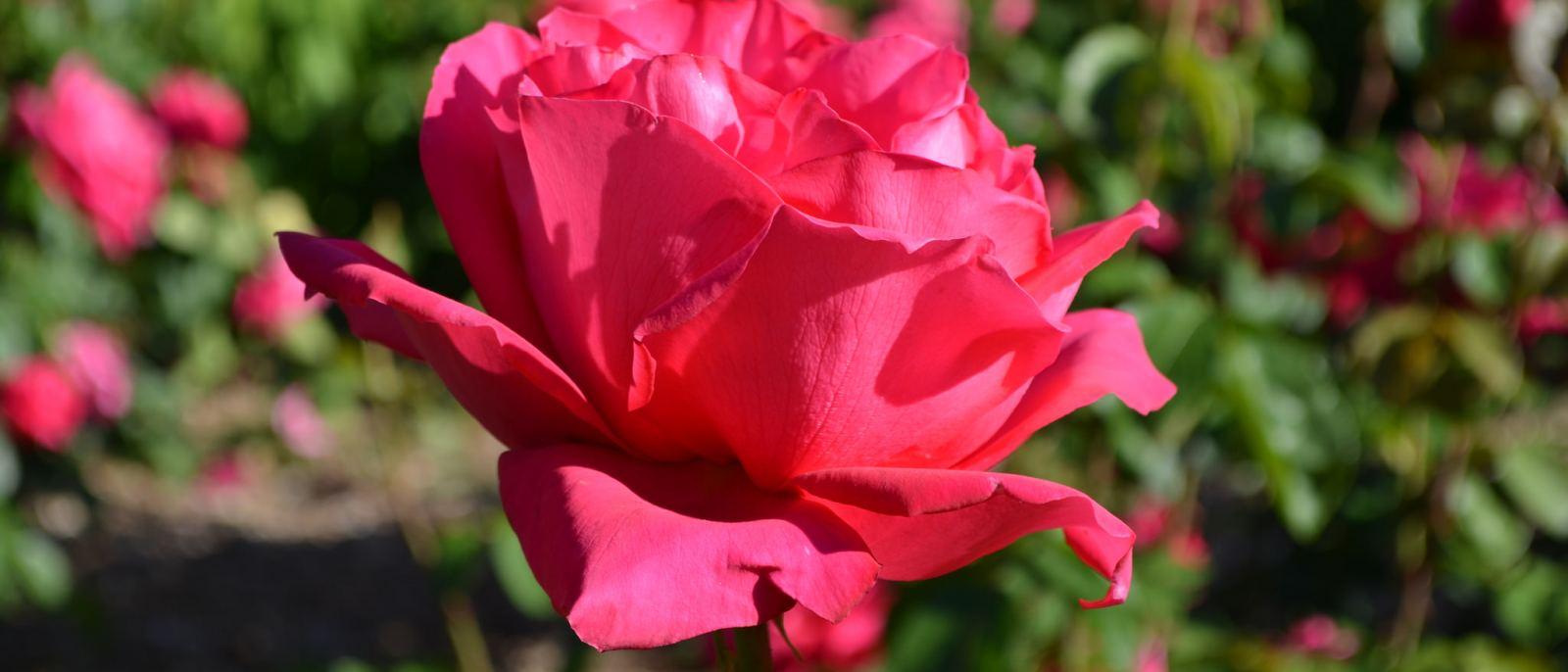 Rose Garden Roses Flower Flowers
