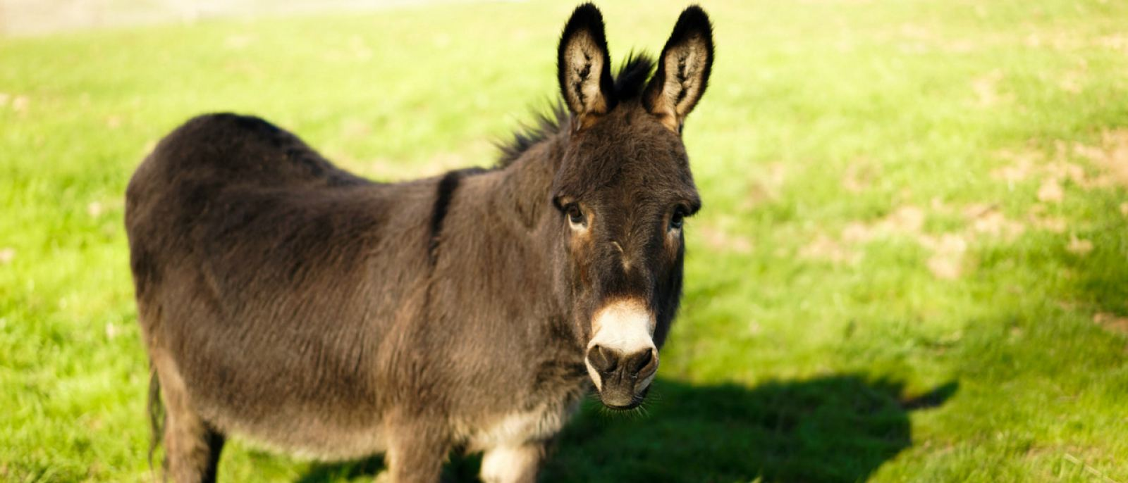Albert the Donkey at Farm Sanctuary in Acton