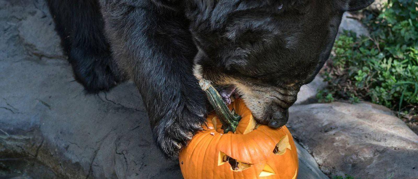 Bear enjoys a pumpkin during Boo at the LA Zoo