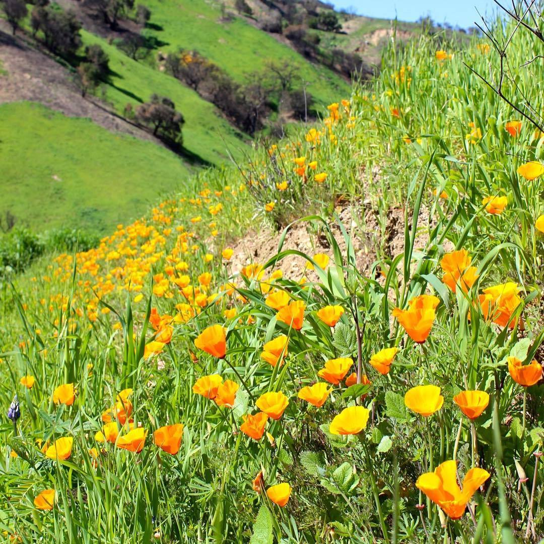 Malibu Creek State Park Poppies