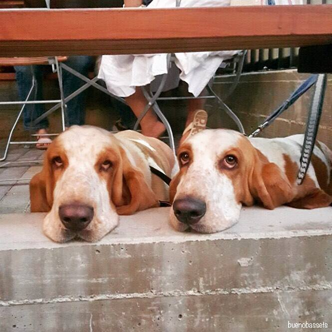 Basset hounds on the patio at Hinterhof in Highland Park