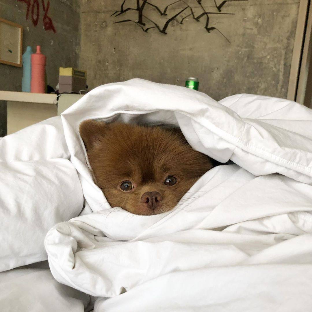 Bertram the Pomeranian at the LINE Hotel in Koreatown