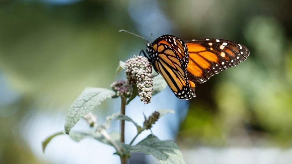 Monarch Butterfly at NHMLA 2020