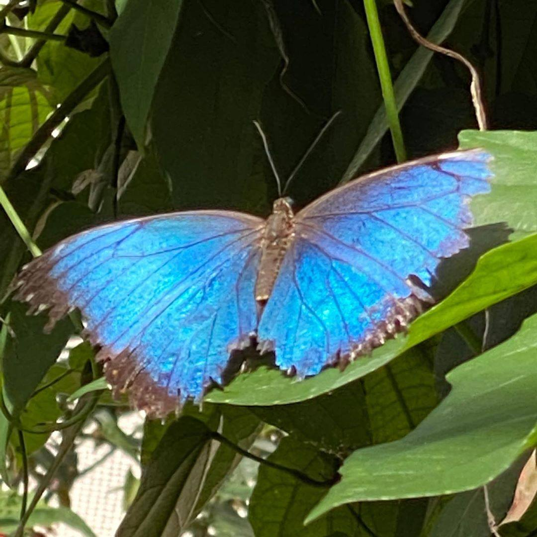 Blue Morpho Butterfly at NHMLA 2020